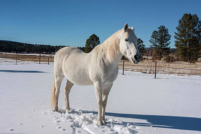New Attitudes Photograph - White Horse In Snow by Zandria Muench Beraldo