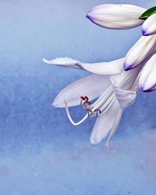 White Hosta Lilies Art Print by Tom McCarthy