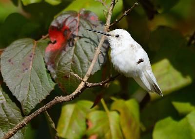 White Hummingbird Art Print