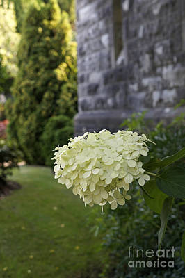 Photograph - White Hydrangea by John  Mitchell