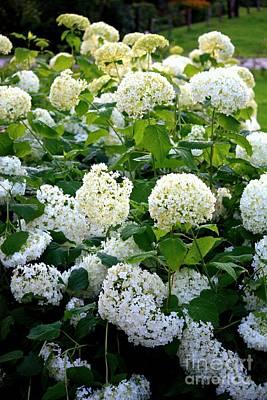 Photograph - White Hydrangeas by Carol Groenen