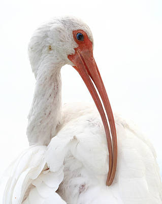 Photograph - White Ibis 2 by Erin Tucker