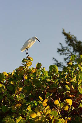 Photograph - White Ibis And Sea Grapes by John Myers