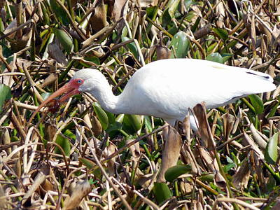 Photograph - White Ibis Crawfish Lunch 1 by Sheri McLeroy