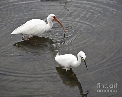 Holiday Mugs 2019 Royalty Free Images - White Ibis Eudocimus albus and Snowy Egret Egretta thula Royalty-Free Image by Allan  Hughes