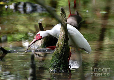 Photograph - White Ibis Fishing by Kathy Baccari