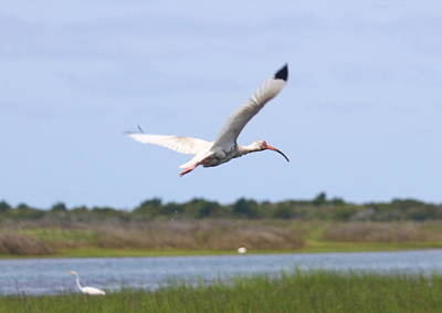 White Ibis Flying  Print by Cathy Lindsey