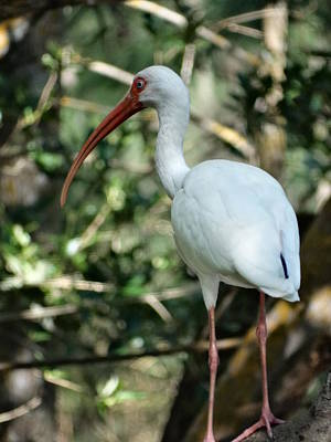 Photograph - White Ibis by Frederic BONNEAU Photography