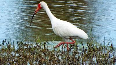 White Ibis I Original