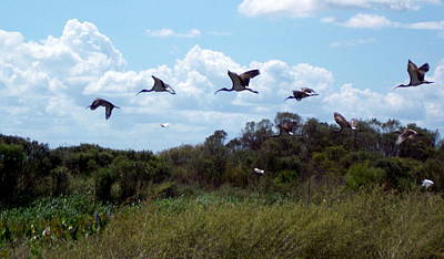 Photograph - White Ibis In Flight 1 by Sheri McLeroy