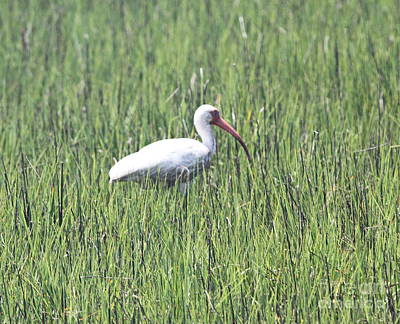 Feathers Photograph - White Ibis In Grass by Cathy Lindsey