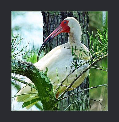 Photograph - White Ibis by Jody Lane