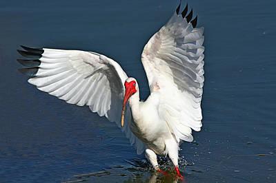 Photograph - White Ibis Landing by Ira Runyan