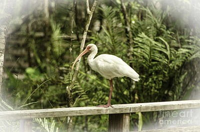 Photograph - White Ibis by Mary Carol Story