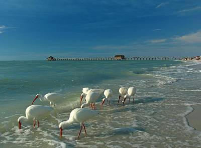 Florida Nature Photograph - White Ibis Near Historic Naples Pier by Juergen Roth