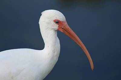 Photograph - White Ibis by Kathy M Krause