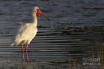 Photograph - White Ibis Photo by Meg Rousher