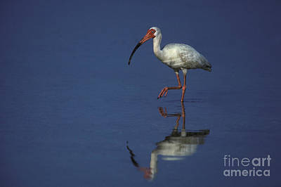 American White Ibis Photograph - White Ibis by Ron Sanford