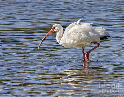 Photograph - White Ibis by Ronald Lutz