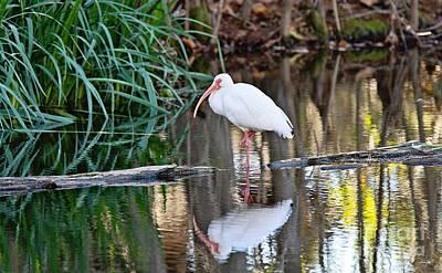 South Louisiana Photograph - White Ibis by Scott Pellegrin