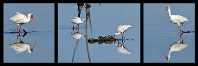 Photograph - White Ibis Triptych - Black Surround by Dawn Currie