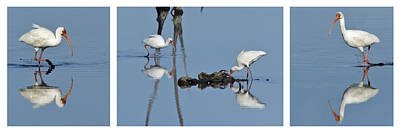 Photograph - White Ibis Triptych -white Surround by Dawn Currie