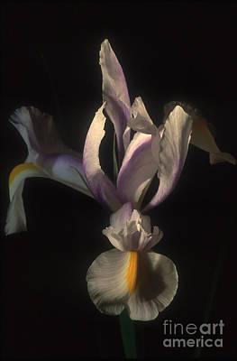 Photograph - White Iris by Chris Scroggins