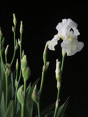 Photograph - White Iris In Black Of Night by Guy Ricketts