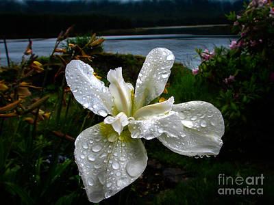 Photograph - White Iris by Robert Bales