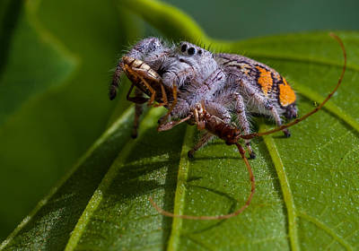 White Jumping Spider With Prey Art Print by Craig Lapsley