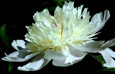Flower Photograph - White Light Peony by Rosanne Jordan