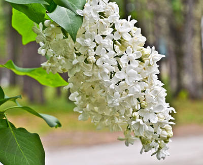 Photograph - White Lilac by Cathy Hacker