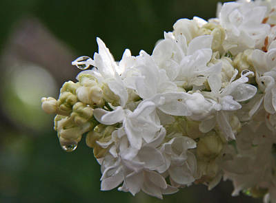 Photograph - White Lilac In The Rain by Elizabeth Rose