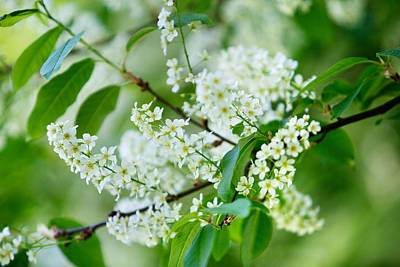 Springtime Photograph - White Lilac by Nailia Schwarz