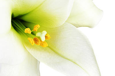 White Lilly Macro Art Print by Johan Swanepoel