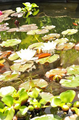 Photograph - White Lilly Pads  by Puzzles Shum