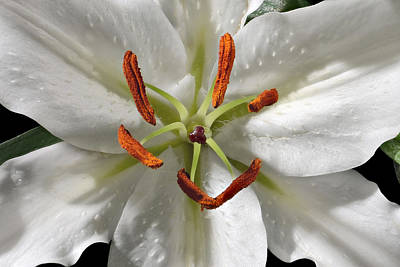 White Lily Photograph - White Lily-0001 by Russ Greene