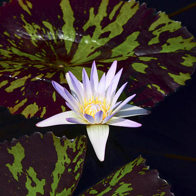 Photograph - White Water Lily by Crystal Wightman