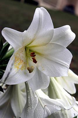 Flora Photograph - White Lily by  Errin Schaeffer
