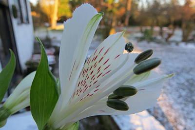White Lily Art Print by B Vesseur