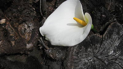 Photograph - White Lily by Joyce Woodhouse