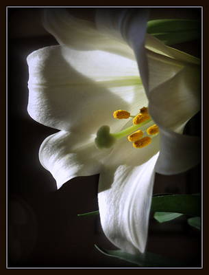 Photograph - White Lily by Kay Novy