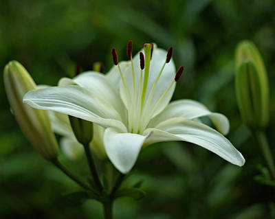 White Lily Art Print by Sandy Keeton