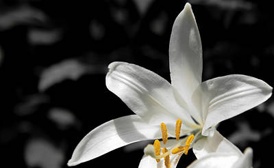 White Lily With Yellow Stamens Against Dark Background Art Print