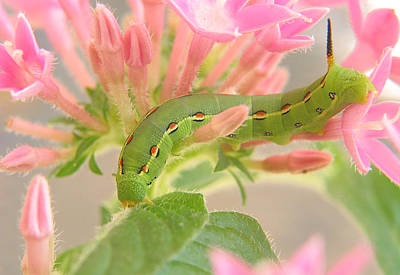 Caterpillar Wall Art - Photograph - White-lined Sphinx Moth Caterpillar by David and Carol Kelly