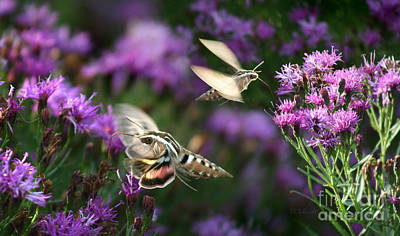 Photograph - White-lined Sphinx Moths by E B Schmidt