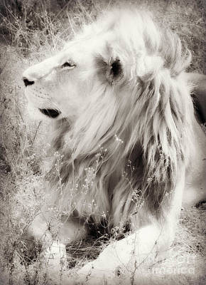 Photograph - White Lion by Chris Scroggins