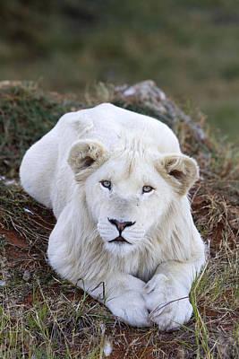 White Lion Cub Art Print by M. Watson