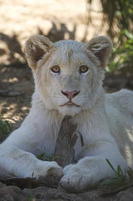 Photograph - White Lion Cub  by Saija  Lehtonen