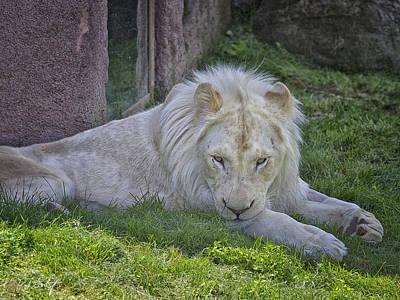 White Lion Fintan Art Print by Phill Doherty